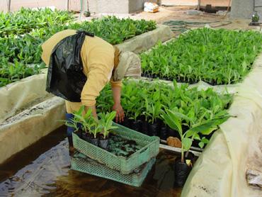 Crop Development Banana Tissue Culture
