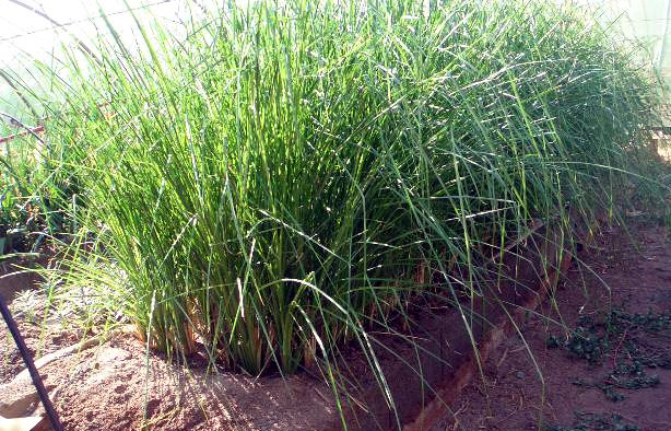 Three month old vetiver growing hydroponics bed